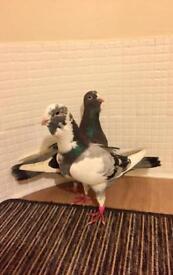 Adana Dewlap pigeons