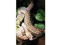 Bredli python