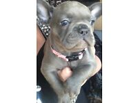 French Bulldog Solid Blue Puppies Ready Now