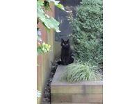 British short haired black cat Missing.