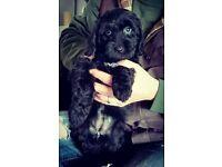 1 beautiful cockerpoo puppy left - Girl