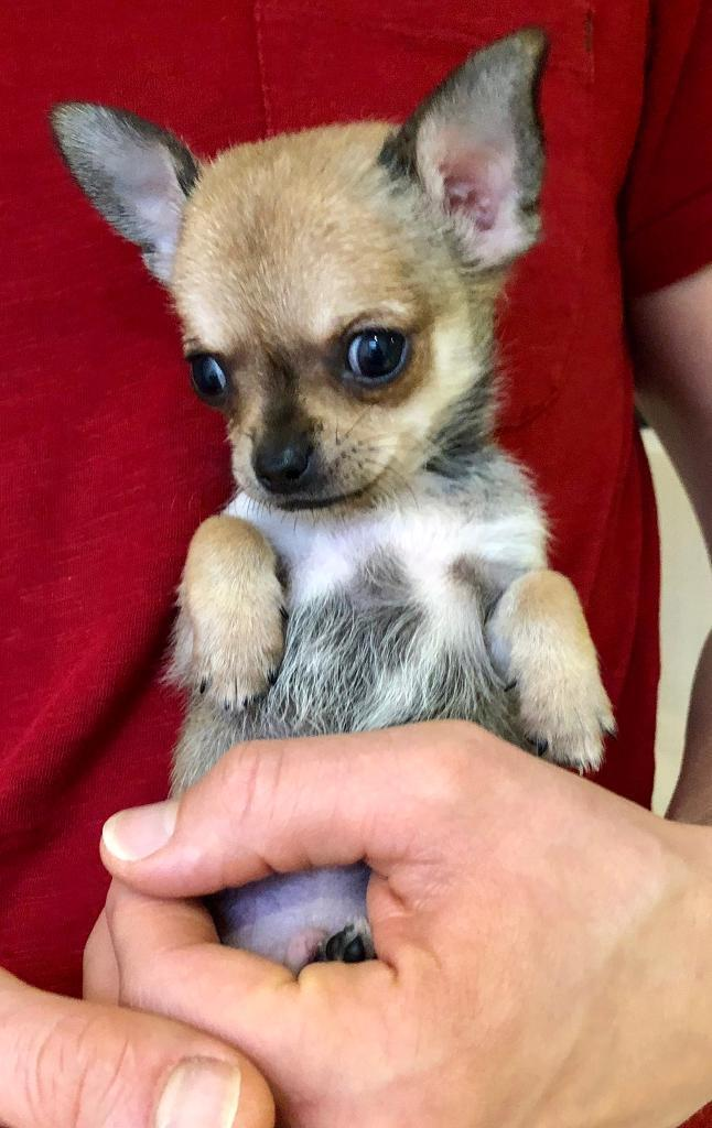 1 quality chihuahua puppy left - ready now  1 boy available | in West  Bridgford, Nottinghamshire | Gumtree