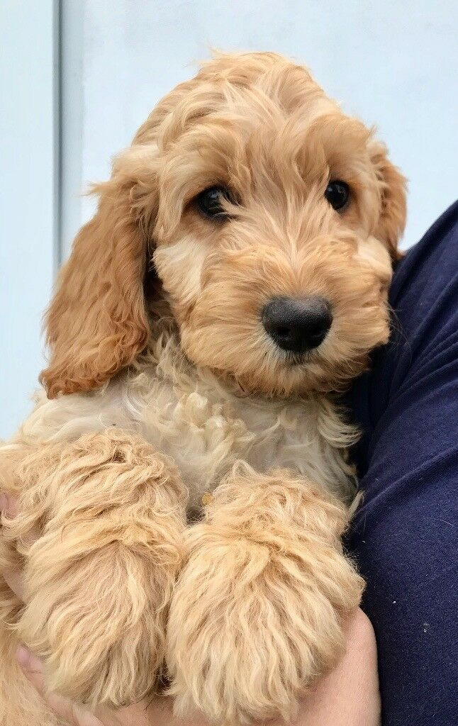 cockapoo puppies red and golden in shrewsbury shropshire gumtree