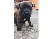 German Shepard cross staffy puppies ** fully health checked , micro chipped **