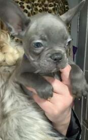 French Bulldog Male puppies solid BLUES KC reg pedigree pups