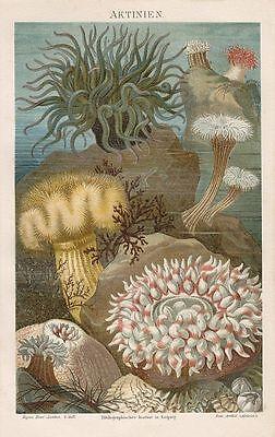 Seeanemonen (Actiniaria) Seerosen, Seenelken oder Aktinien Lithographie 1885