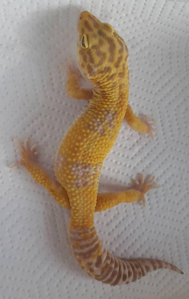 Tangerine albino leopard gecko for sale | in Mansfield, Nottinghamshire |  Gumtree
