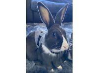 1 Adorable, friendly rabbit for sale
