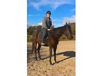 x racehorse, stunning 16hh, for loan only. needs eperienced rider. very good nature. part/ full time