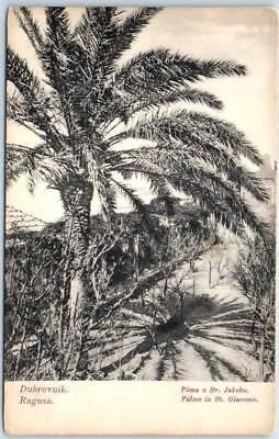 Vintage Dubrovnik (Ragusa) CROATIA Postcard Palm Trees San Giacomo - Unused