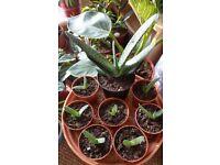 Houseplants - Indoor plants - Succulents - Gasteria - Ox Tongue