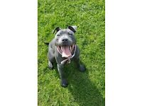 blue staffy for sale