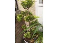 Topiary Ball Tree.Honey Suckle Tree