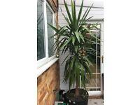 Yucca plant /tree