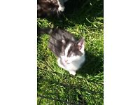 3 black and white kittens £40 each still looking homes