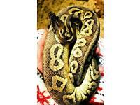 Royal python Pewter morph