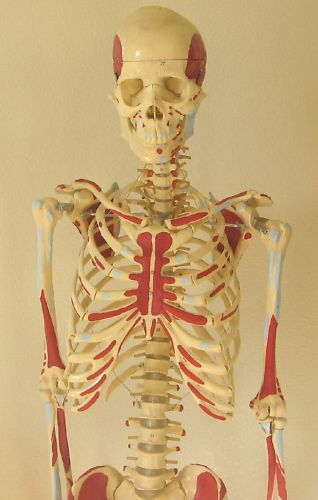 Life-size human skeleton anatomical model 5