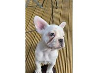 Ready Now French bulldog Puppies