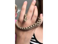 2 young baby hognose snakes