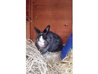 Two beautiful rabbits with large rabbit hutch to be rehomed