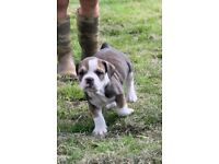 British bulldog x staff puppy