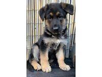 Outstanding German Shepard puppies for sale