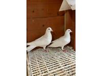PURE WHITE LOGAN PIGEONS FOR SALE