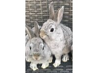 Only Two female Netherland Dwarfs left *READY NOW*