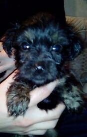 Jack Russel cross shitzu puppies