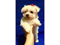 Maltese puppy for sale!!!!