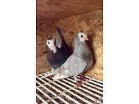 Pair of Wolverhampton Badge Tumbler pigeons for sale