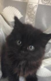 2 fluffy black male kittens