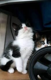 Kittens £150