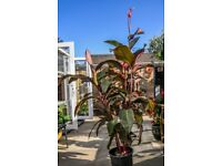 Large canna plant for sale