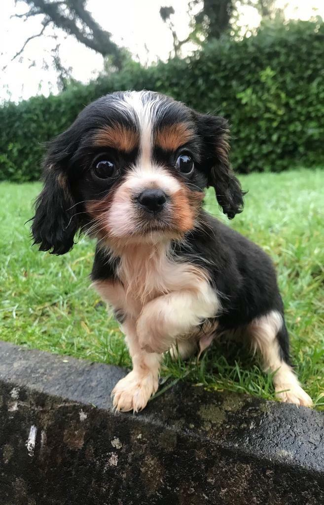 2 cavalier king charles puppies for sale in belfast city centre 2 cavalier king charles puppies for sale altavistaventures Images