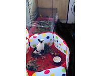 Year old Female rabbit with cage and toys