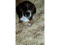 Try colored full breed Beagle puppies