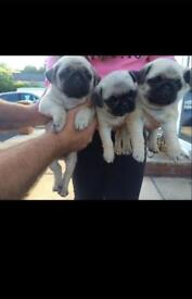 One pug puppy for sale!!