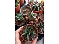 Houseplants - Indoor plants - Succulents - Haworthia