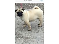 Pug puppy- fully immunised, microchipped & puppy pad toilet trained