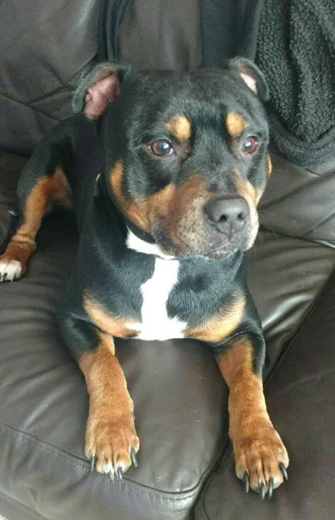 Male Staffy Needing Forever Home