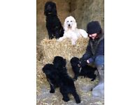 Standard Poodle Female Puppies