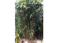 Large bamboo plant to be dug up - make a sensible offer for some/all