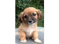 Beshonfric X jackrussell puppys