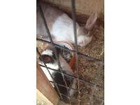 Adult Female Rabbit For sale