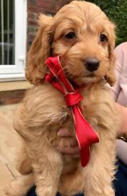 Gorgeous F1 Fox Red Cockapoo HURRY ONLY ONE GIRL LEFT