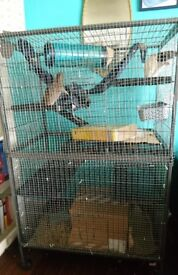 Two female rats£20 with huge cage£50