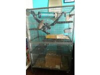Two female rats and huge cage
