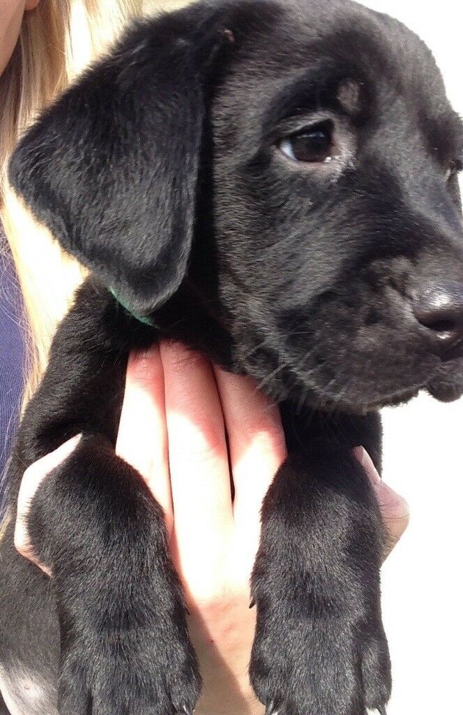 Kennel Club Registered Labrador Puppies!
