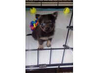 Last 2 Chihuahua puppies for sale. Blue and tan fluffy tiny girl left and black and tan boy
